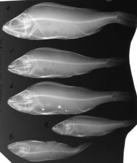 To NMNH Extant Collection (Perca fluviatilis USNM 62371 2 of 2 radiograph lateral view)