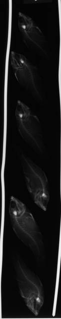 To NMNH Extant Collection (Apogon exostigma USNM 166593 radiograph lateral view)