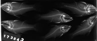 To NMNH Extant Collection (Glossamia aprion USNM 173843 radiograph lateral view)