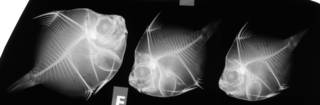 To NMNH Extant Collection (Antigonia combatia USNM 188046 radiograph lateral view)