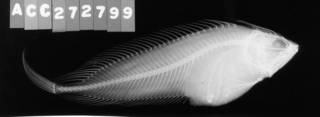 To NMNH Extant Collection (Cristiceps macleayi USNM 299808 radiograph lateral view)