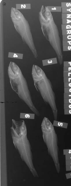 To NMNH Extant Collection (Synagrops philippinensis USNM 44428 radiograph lateral view)