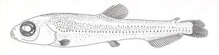 To NMNH Extant Collection (Bathylagus compsus P01677 illustration)
