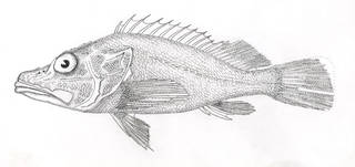 To NMNH Extant Collection (Pontinus castor P06886 illustration)