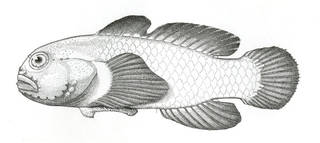To NMNH Extant Collection (Rupellia lacunicola P06622 illustration)