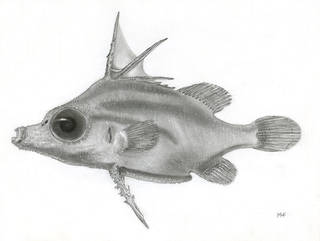 To NMNH Extant Collection (Bathyphylax bombifrons P18662 illustration)