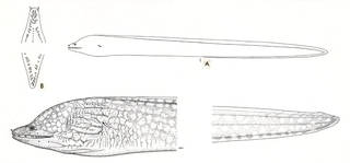 To NMNH Extant Collection (Prodonophis serratidens P06964 illustration)