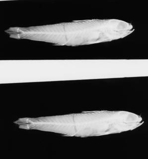 To NMNH Extant Collection (Parasphyraenops atrimanus USNM 74085 holotype radiograph lateral view)