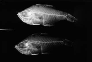 To NMNH Extant Collection (Archamia dispilus USNM 112041 holotype radiograph lateral view)