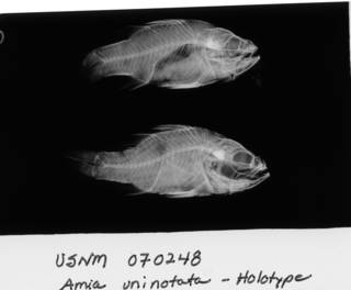 To NMNH Extant Collection (Amia uninotata USNM 70248 holotype radiograph lateral view)