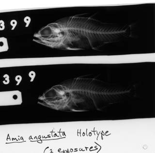 To NMNH Extant Collection (Amia angustata USNM 68399 holotype radiograph lateral view)