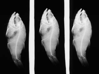 To NMNH Extant Collection (Amia albomarginata USNM 68402 holotype radiograph lateral view)