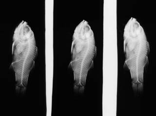 To NMNH Extant Collection (Amia striata USNM 68403 holotype radiograph lateral view)