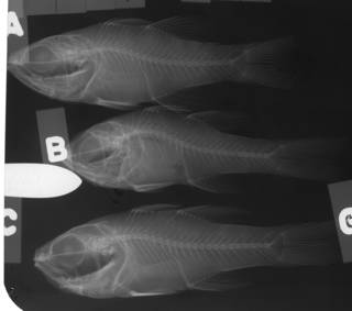 To NMNH Extant Collection (Apogon pacificus USNM 77555 radiograph lateral view)