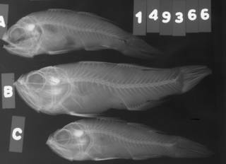 To NMNH Extant Collection (Apogon smithi USNM 149366 radiograph lateral view)