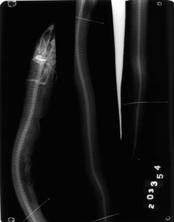 To NMNH Extant Collection (Bathymyrus smithi USNM 203354 radiograph lateral view)