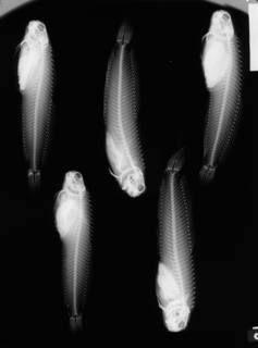 To NMNH Extant Collection (Achirus klunzingeri USNM 144783 1 of 2 radiograph lateral view)