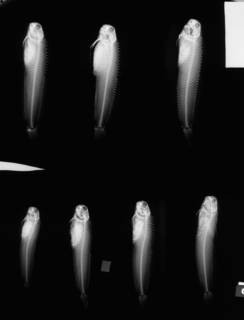 To NMNH Extant Collection (Achirus klunzingeri USNM 144783 2 of 2 radiograph lateral view)