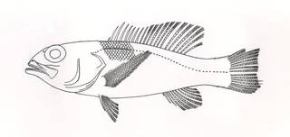 To NMNH Extant Collection (Pikea cubensis P08064 illustration)