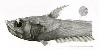 To NMNH Extant Collection (Macrourus obliquatus P14178 illustration)