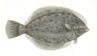 To NMNH Extant Collection (Pseudopleuronectes dignabilis P00937 illustration)