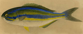 To NMNH Extant Collection (Sectator azureus P09473 illustration)