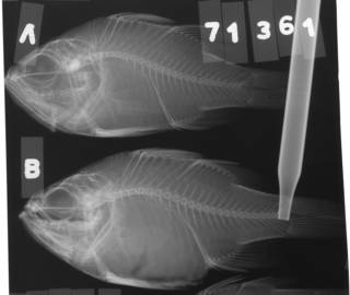 To NMNH Extant Collection (Paramia niger USNM 71361 radiograph lateral view)