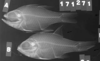 To NMNH Extant Collection (Apogon fleurieu USNM 171271 radiograph lateral view)
