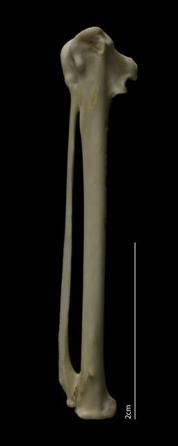 To NMNH Extant Collection (Procellariidae (Petrels, Shearwaters), USNM 498315, carpometacarpus, dorsal)