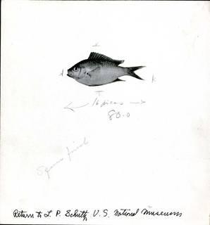 To NMNH Extant Collection (Chromis caeruleus P03131 transparency print)