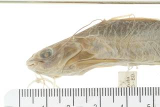 To NMNH Extant Collection (Mystus pulcher USNM 44751 photograph lateral view head specimen 1)