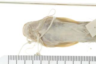To NMNH Extant Collection (Mystus pulcher USNM 44751 photograph ventral view specimen  1)