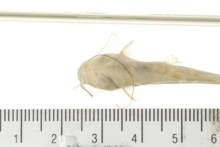 To NMNH Extant Collection (Mystus USNM 393626 photograph ventral view specimen  8)