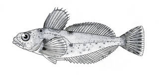 To NMNH Extant Collection (Phallocottus obtusus P07904 illustration)