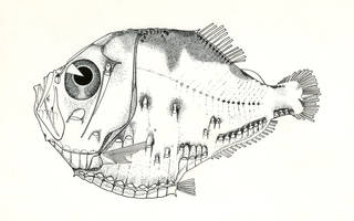 To NMNH Extant Collection (Polyipnus triphanos P07598 illustration)