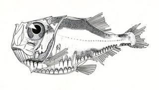 To NMNH Extant Collection (Polyipnus unispinus P07599 illustration)