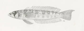 To NMNH Extant Collection (Parapercis somaliensis P08443 illustration)