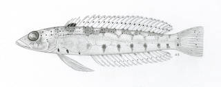 To NMNH Extant Collection (Parapercis trispilota P08446 illustration)