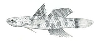 To NMNH Extant Collection (Pycnomma roosevelti P07340 illustration)