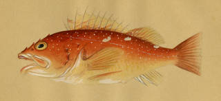 To NMNH Extant Collection (Sebastichthys P05627 illustration)