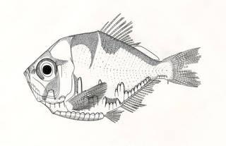 To NMNH Extant Collection (Polyipnus matsubarai P07589 illustration)