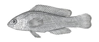 To NMNH Extant Collection (Pseudochromis aurea marshallensis P07236 illustration)