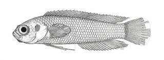 To NMNH Extant Collection (Pseudoplesiops revelli P07270 illustration)