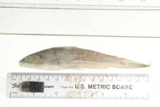 To NMNH Extant Collection (Mystus rufescens USNM 346162 photograph lateral view)