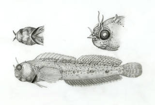 To NMNH Extant Collection (Mimoblennius cas P17719 illustration)