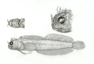 To NMNH Extant Collection (Mimoblennius cirrosus P17721 illustration)