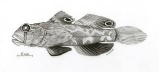 To NMNH Extant Collection (Signigobius biocellatus P09708 illustration)