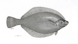 To NMNH Extant Collection (Limandella tsuganensis P12901 illustration)