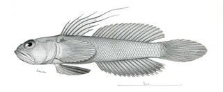 To NMNH Extant Collection (Microgobius meeki P09802 illustration)