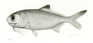 To NMNH Extant Collection (Polymixia berndti P07568 illustration)